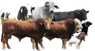 Tiga Golongan yang Berhak Menerima Daging Kurban